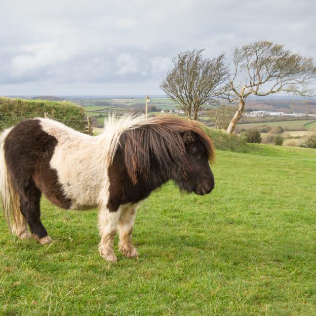 """Shetland Pony"" stock image"
