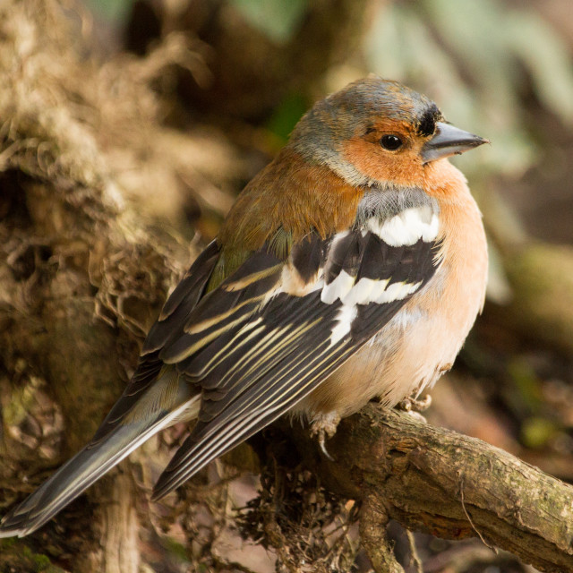 """Chaffinch"" stock image"