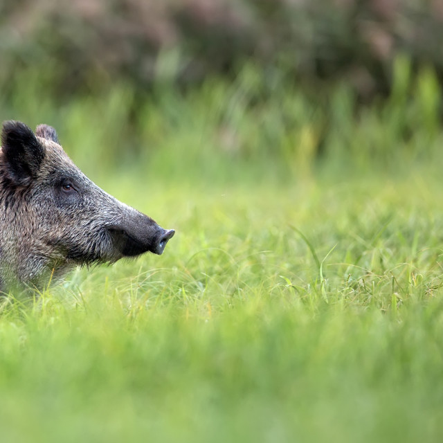 """""""Wild boar in a clearing"""" stock image"""