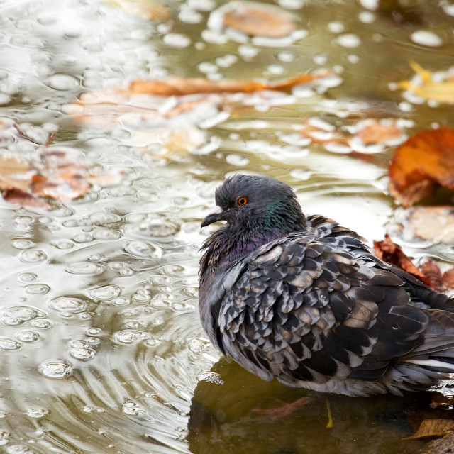 """""""Pigeon in the wild"""" stock image"""