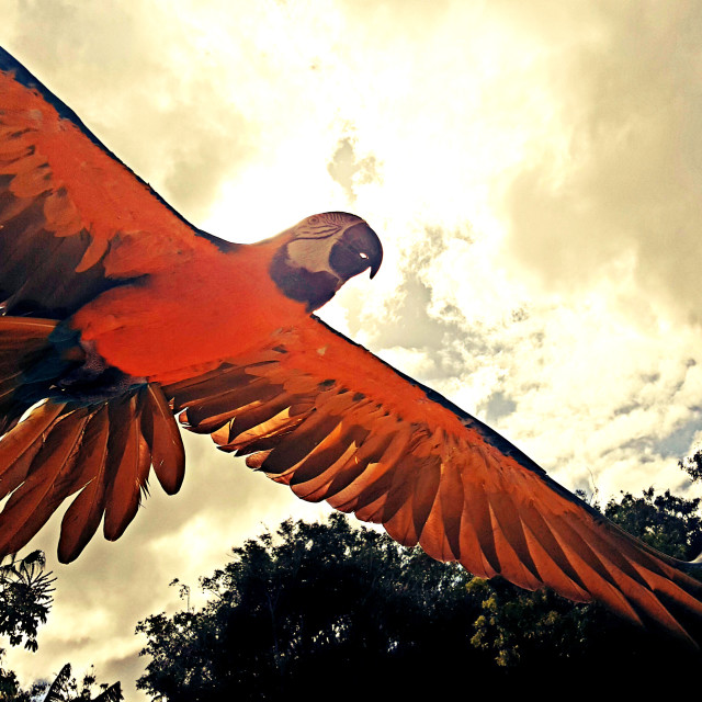 """Parrot in flight"" stock image"