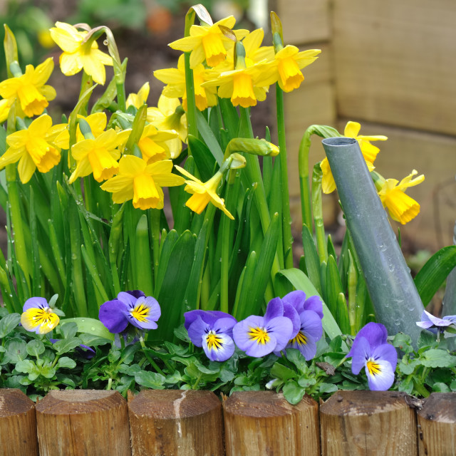 """""""daffodils and viola in garden"""" stock image"""