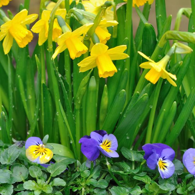 """""""daffodils and viola"""" stock image"""