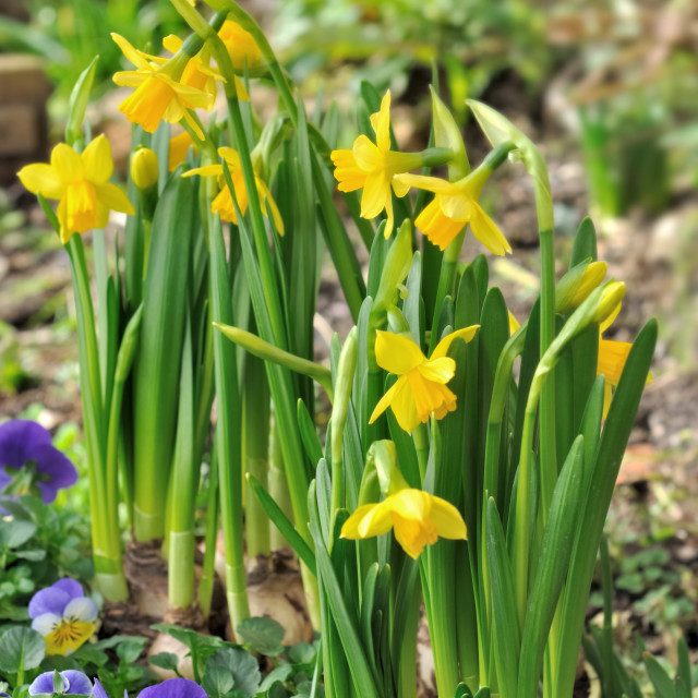 """""""flowerbed with daffodils"""" stock image"""