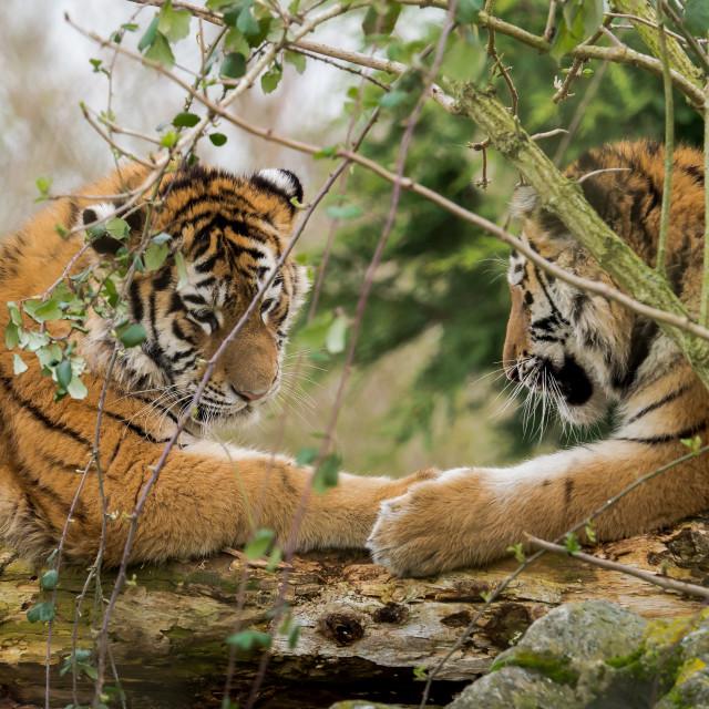 """""""Tiger Siblings"""" stock image"""