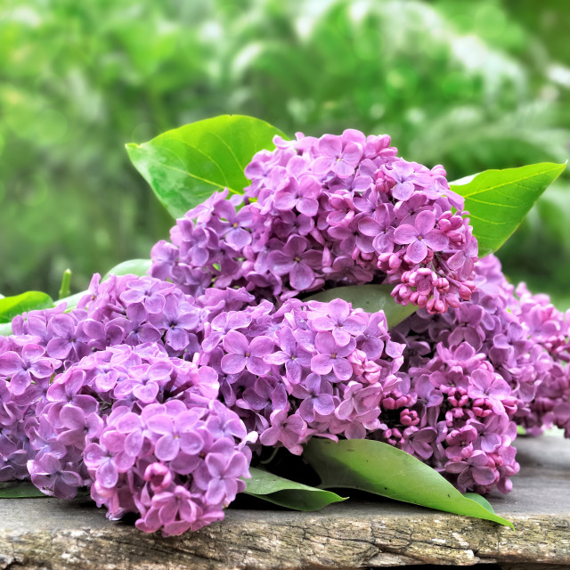 """""""bouquet of lilac"""" stock image"""
