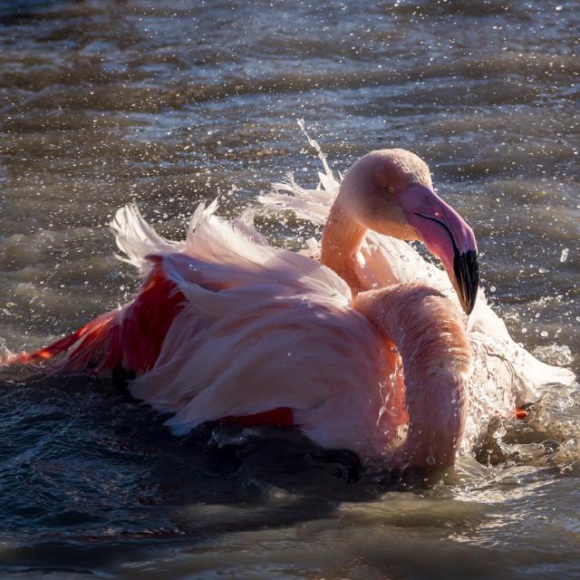 """Flamingo taking a bath , Camargue , France"" stock image"