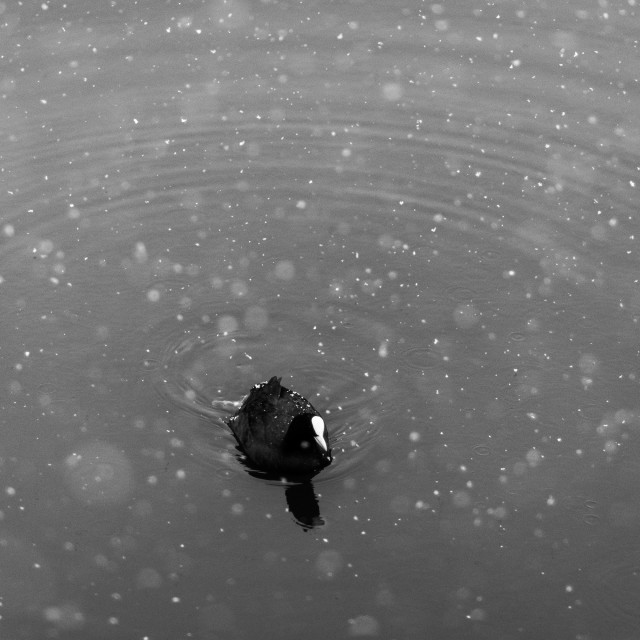 """Coot in snow"" stock image"