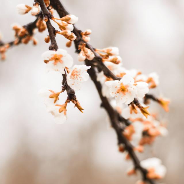 """""""Almendro floreciendo."""" stock image"""
