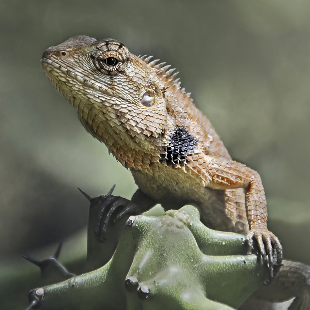 """Asian Lizard"" stock image"