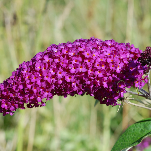 """Beautiful Buddleia"" stock image"