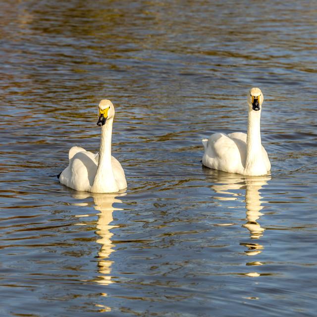 """Bewick's swan"" stock image"