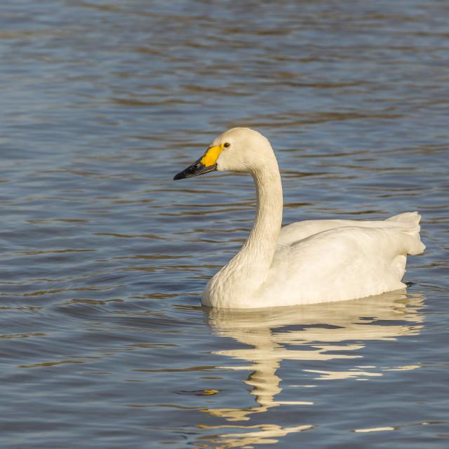 """Bewick swan"" stock image"