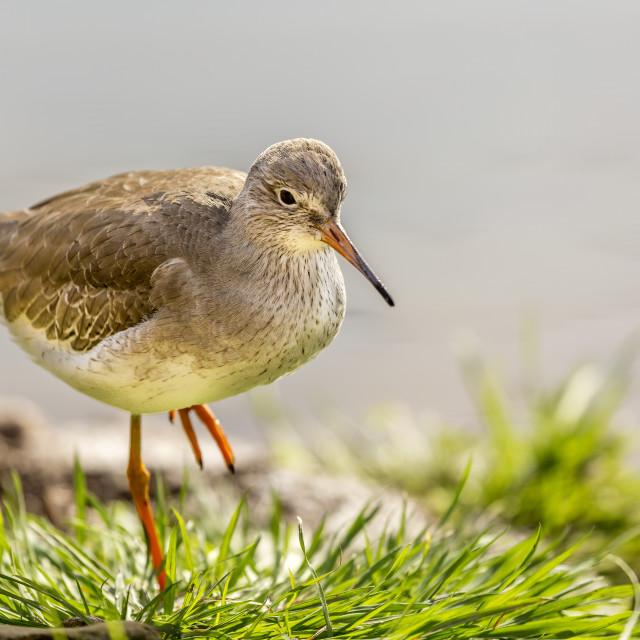 """""""One Legged wadding Bird"""" stock image"""