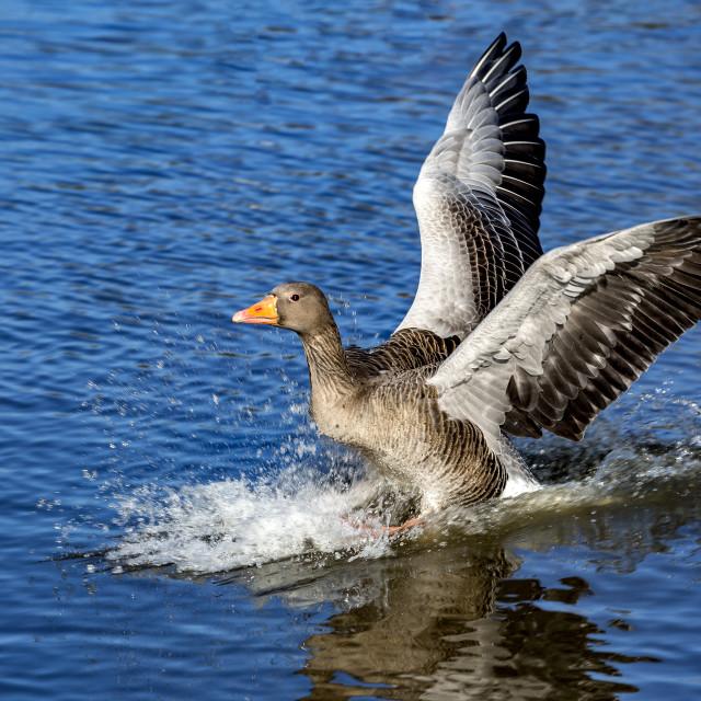 """""""Landing Goose"""" stock image"""