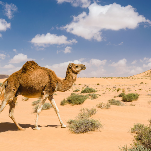 """Dromedary camel walking in the desert, Wadi Draa, Tan- Tan, Moro"" stock image"