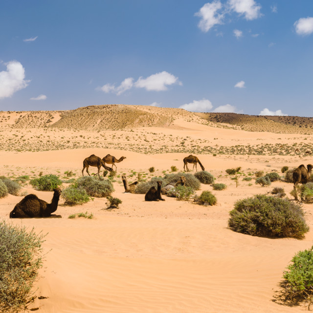 """Herd of Arabian camels in the desert, Morocco"" stock image"
