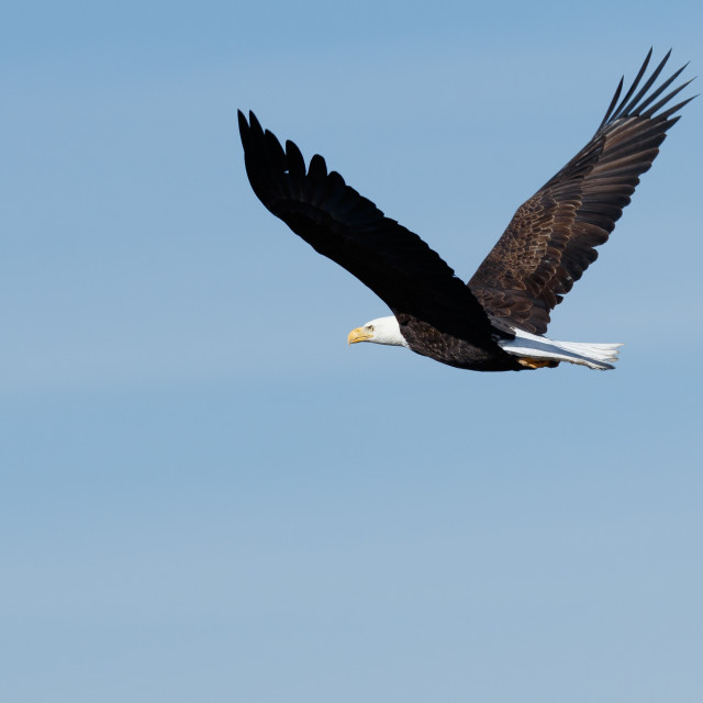 """Bald eagle soaring"" stock image"