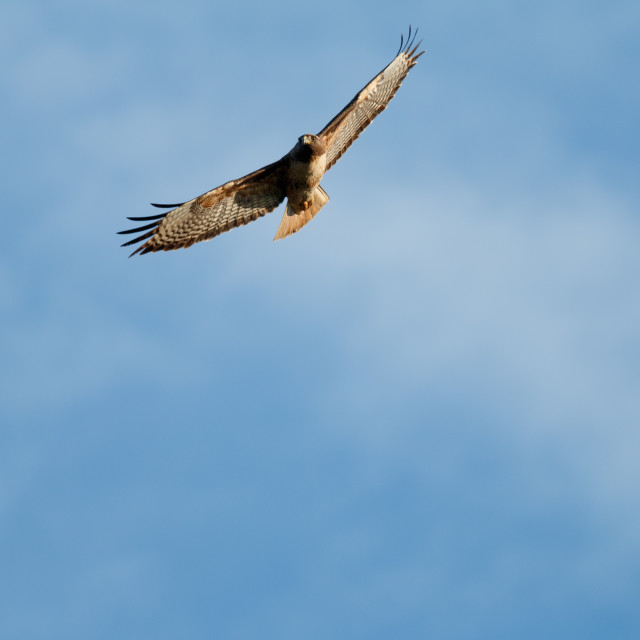 """Red-tailed hawk soaring"" stock image"