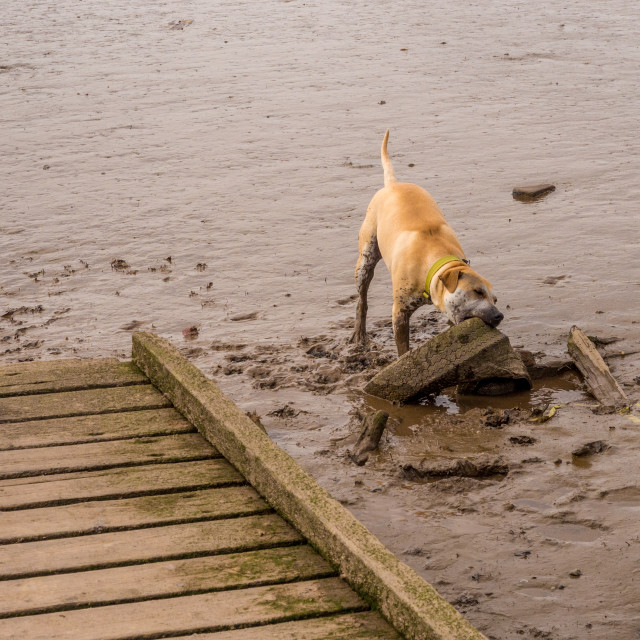 """""""Dog digging in wet sand for a stick to play with. St Annes, Lancashire, UK"""" stock image"""