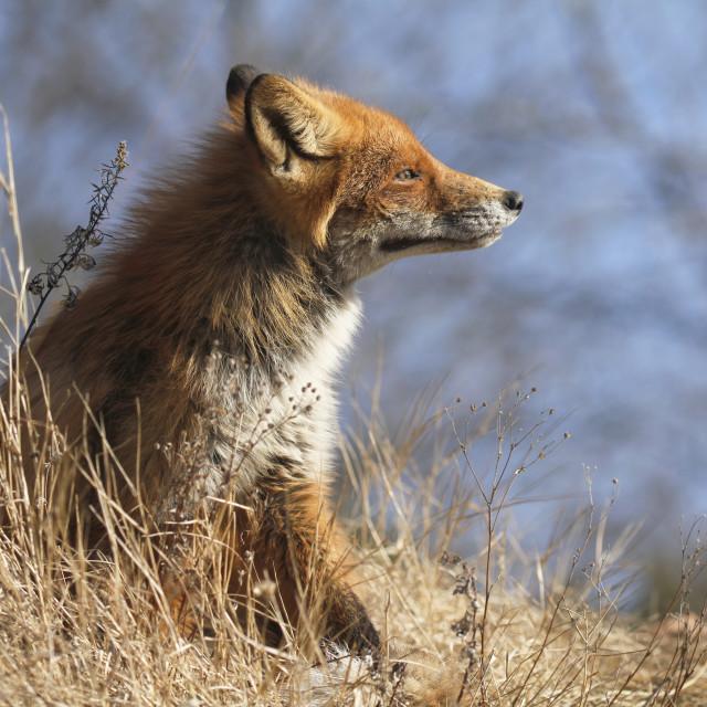 """Urban fox"" stock image"