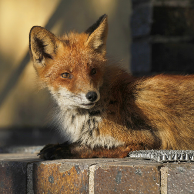"""Urban fox"" stock image"