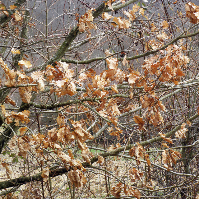 """Springtime is coming,lastyear's leaves,oak tree,12"" stock image"