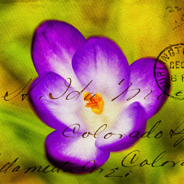 """Crocus overlaid with Envelope impression."" stock image"