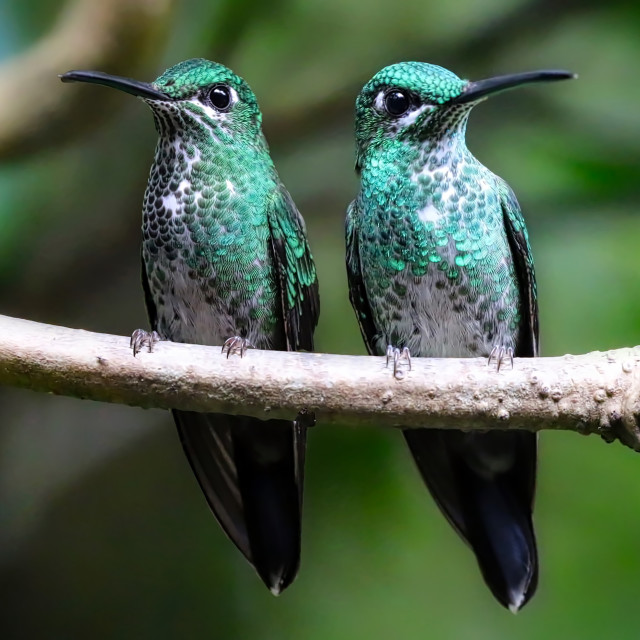 """A pair of Green Crowned Hummingbirds"" stock image"