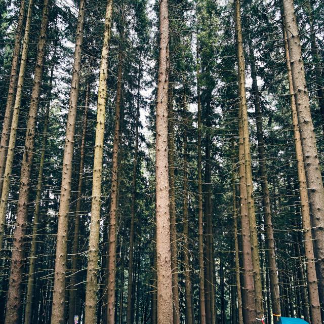 """Under the pines ii"" stock image"