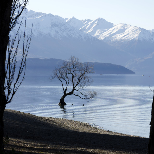 """The Wanaka Tree"" stock image"