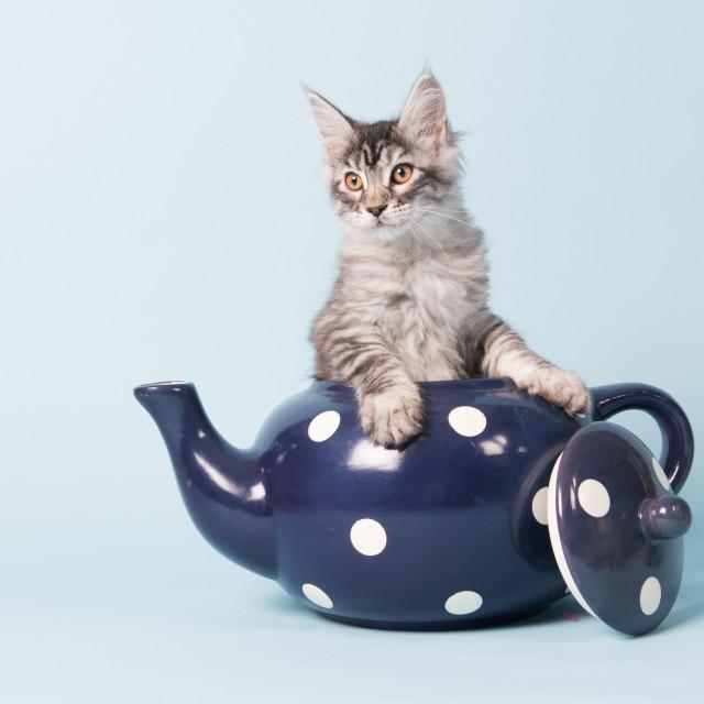 """""""Maine coon kitten in tea pot"""" stock image"""