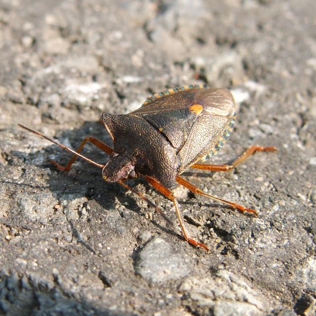 """Shield Beetle"" stock image"