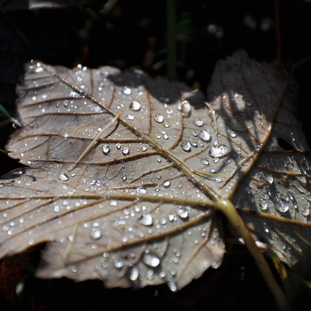 """""""Rain on leaf"""" stock image"""