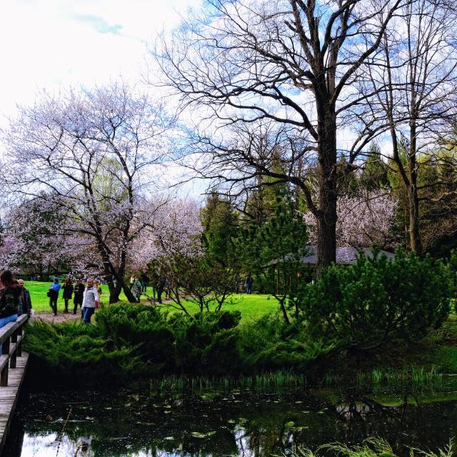 """Spring Japanese Garden with Sakura in Bloom"" stock image"