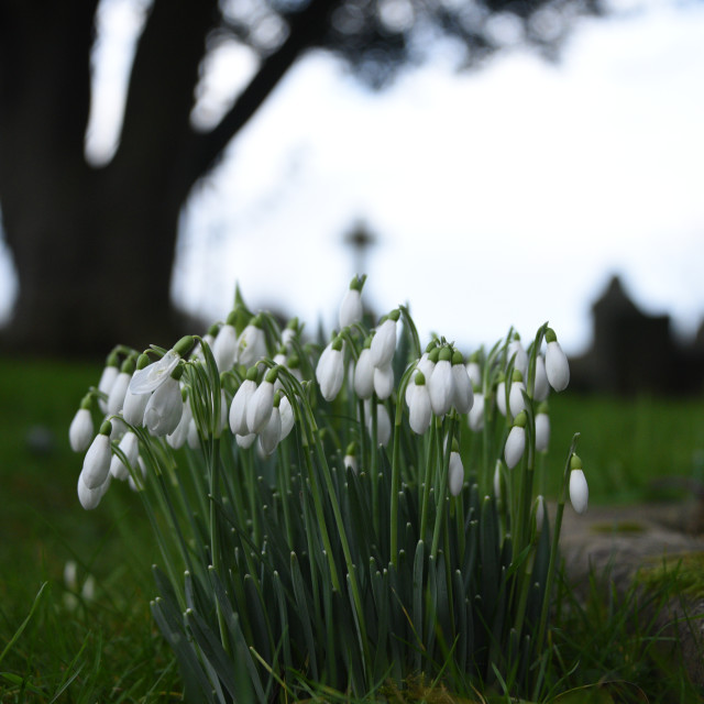 """Snowdrops In Graveyard"" stock image"