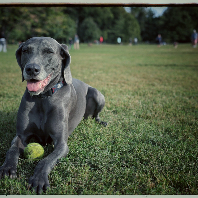 """Weimaraner dog"" stock image"