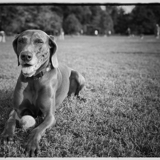 """Weimaraner dog"" stock image"