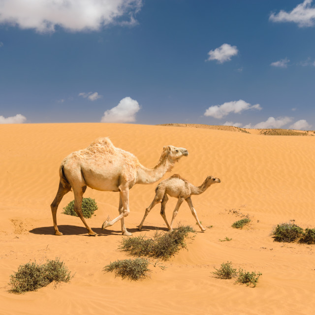 """White arabian camel with foal in the desert, Morocco"" stock image"