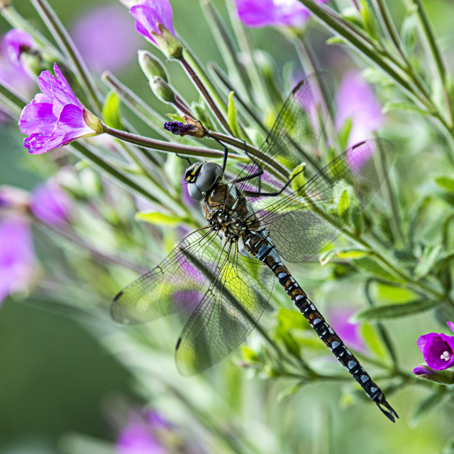 """""""'Migrant Hawker' on Wild Flowers"""" stock image"""