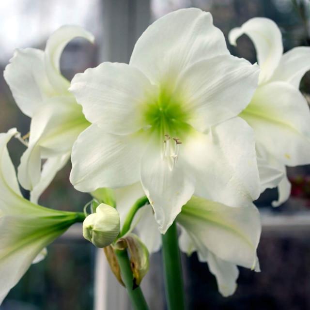 """""""White Amaryllis"""" stock image"""