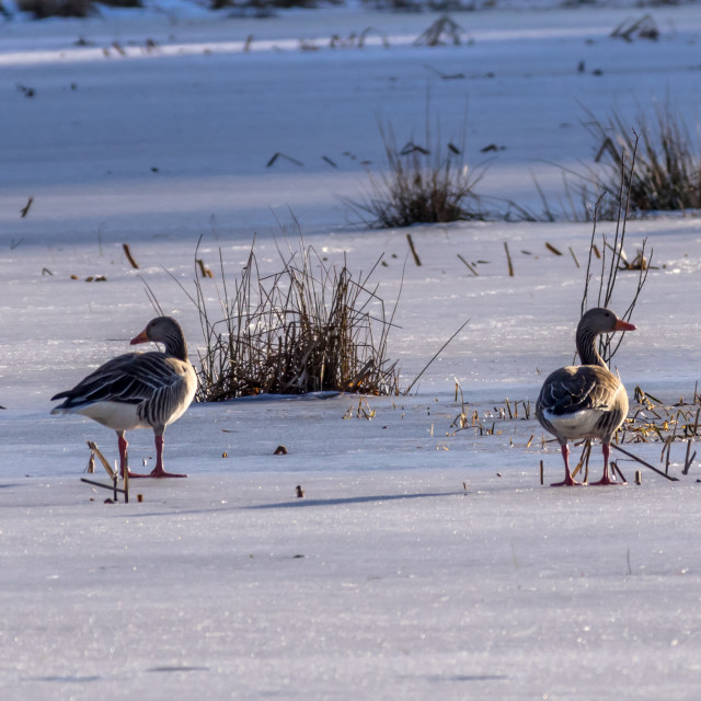 """Greylag geese on ice"" stock image"