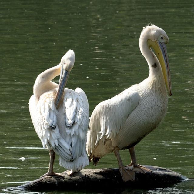"""Rosy Pelicans"" stock image"