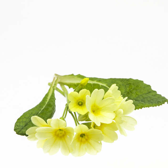 """Cowslips"" stock image"