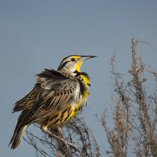 """""""Perched Eastern Meadowlark"""" stock image"""