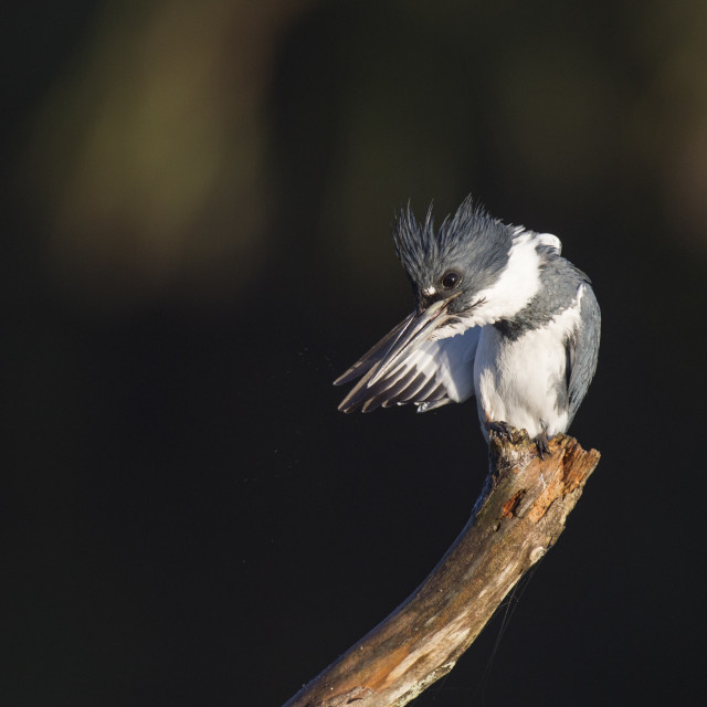 """""""Preening Belted Kingfisher"""" stock image"""