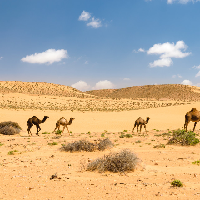 """Herd of Arabian camels with foals in the desert, Morocco"" stock image"
