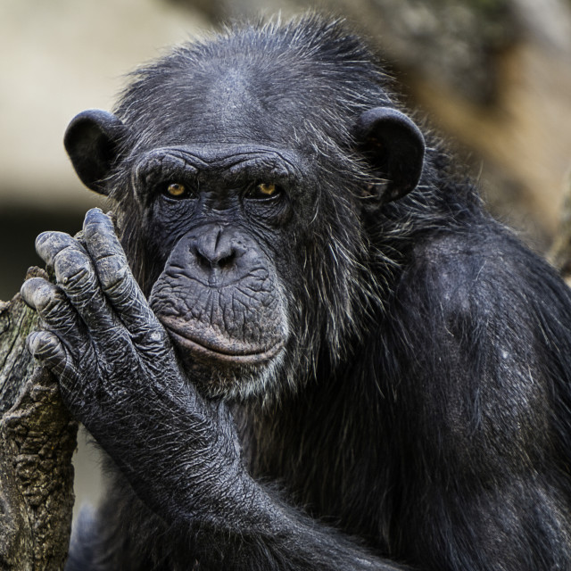 """Chimpance"" stock image"