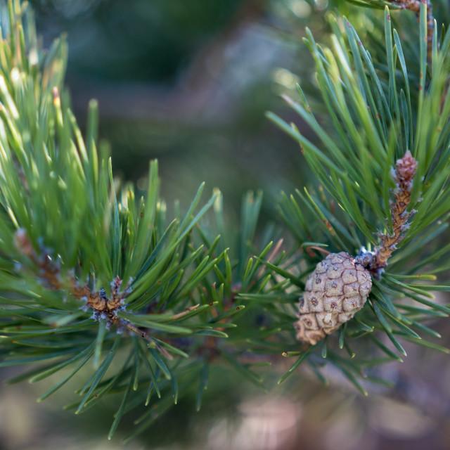 """Pine Cone Blossom"" stock image"