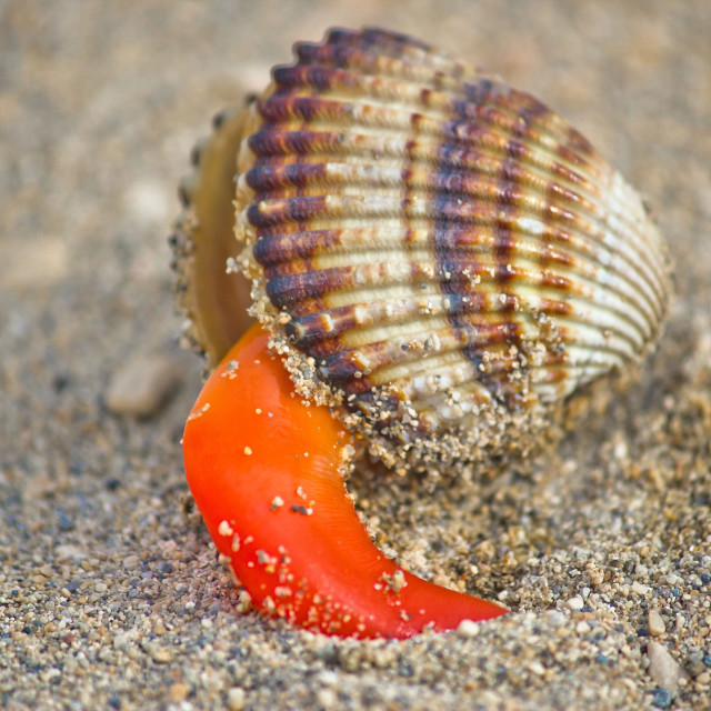 """""""Rough cockle sea shell out of its armor"""" stock image"""
